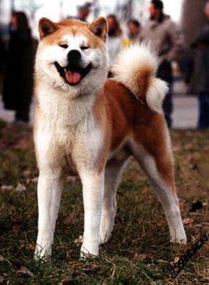 Akita Inu: standard, cuccioli e allevamenti italiani