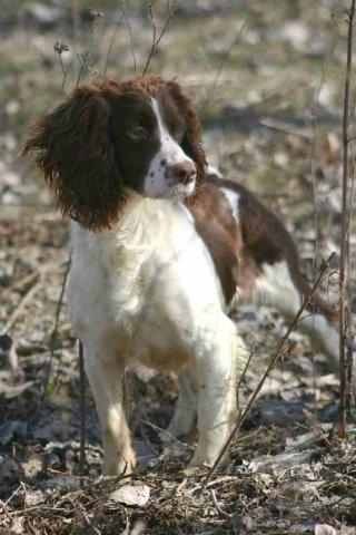 Springer Spaniel Inglese: standard, cuccioli e allevamenti italiani White Parson Russell Terrier