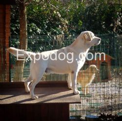 accoppiamento Labrador Retriever