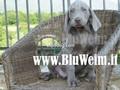 cucciolo weimaraner-umbria-villa-trottolina-di-pinvihok-suphaphit-10180