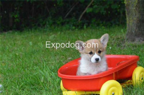 Welsh Corgi Pembroke cuccioli in vendita
