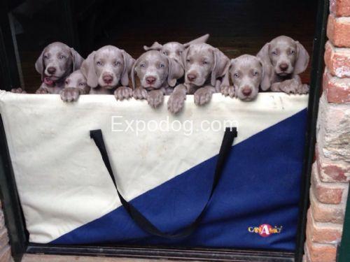 Weimaraner cuccioli in vendita