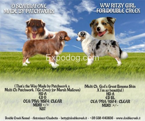 Australian Shepherd cuccioli in vendita