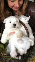 cuccioli di West Highland White Terrier