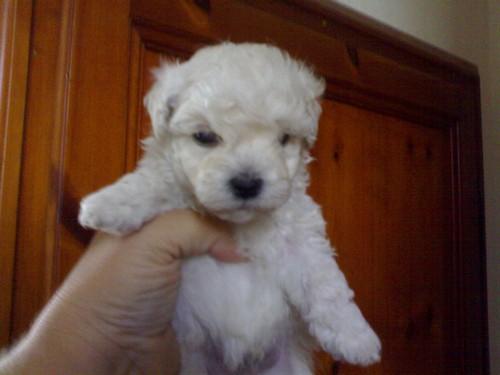 Barbone (toy) cuccioli in vendita