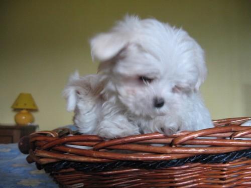 Maltese cuccioli in vendita