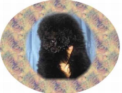 Barbone (nano) cuccioli in vendita