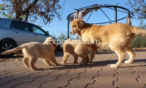 Golden Retriever cuccioli in vendita