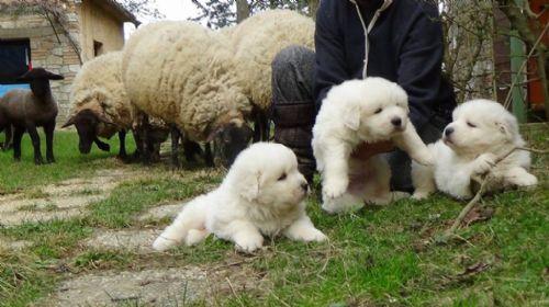 Pastore Maremmano-Abruzzese cuccioli in vendita