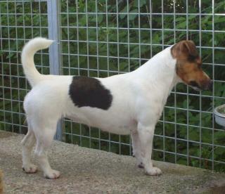 Jack Russell Terrier Standard Razza