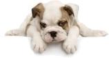 Cerchi un cucciolo ma non sai a chi rivolgerti? Contatta con un click oltre 900 allevatori