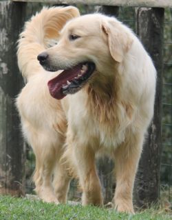 accoppiamento Golden Retriever