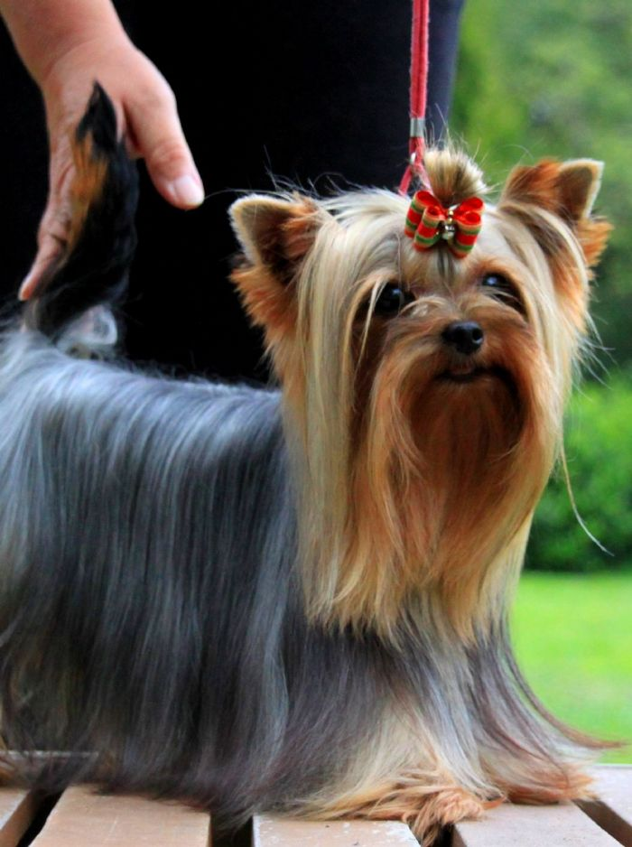 accoppiamento Yorkshire Terrier