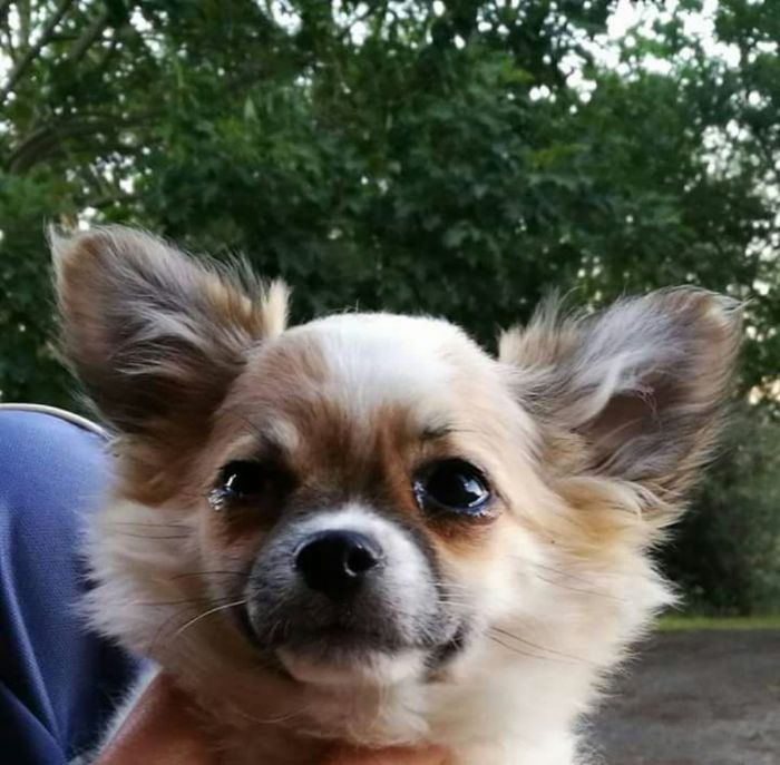 accoppiamento Chihuahua (a pelo lungo)