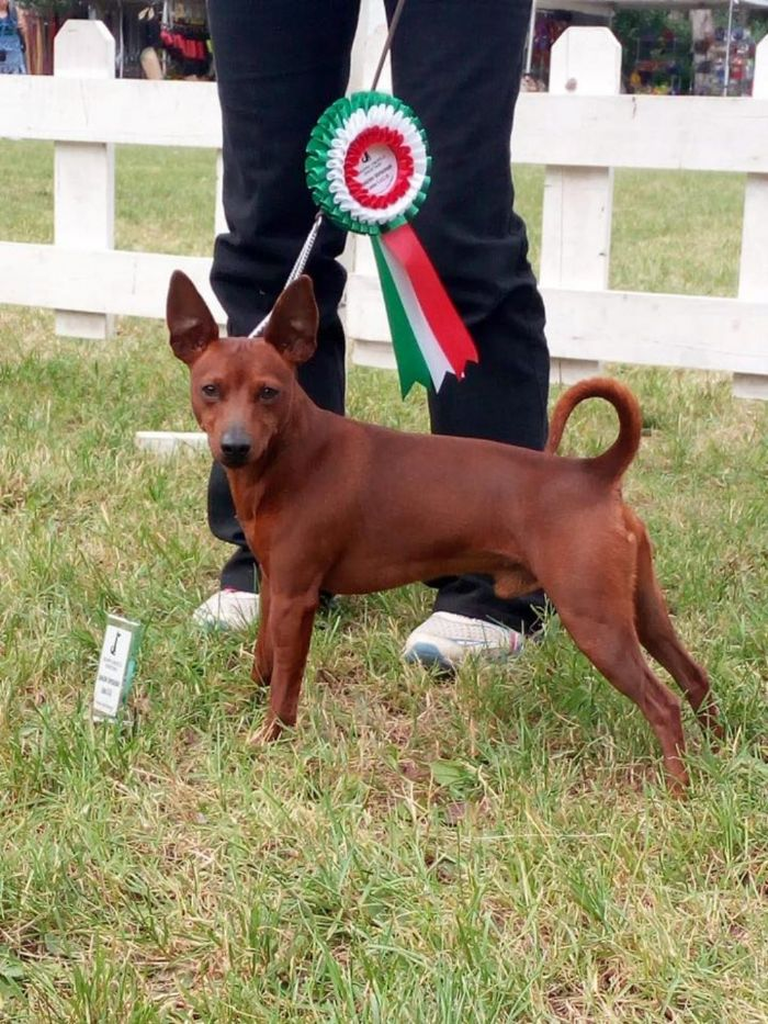 Greenvalleypinscher