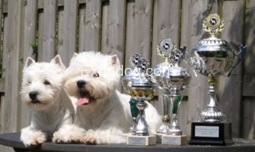 Sunwhite westies