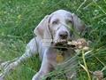 cucciolo weimaraner-piemonte-cuccioli-donatella-buroni-11269