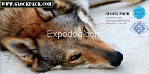 Cane Lupo Cecoslovacco cuccioli in vendita