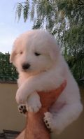 Cucciolo di pastore-maremmano-abruzzese-puglia-delle-terre-d-arneo-19895