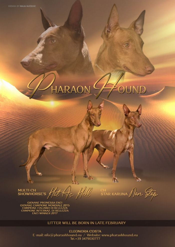 Pharaon Hound cuccioli in vendita