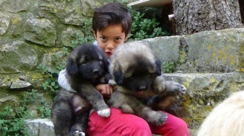 Pastore Del Caucaso cuccioli in vendita