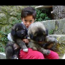 Cucciolo di Pastore Del Caucaso
