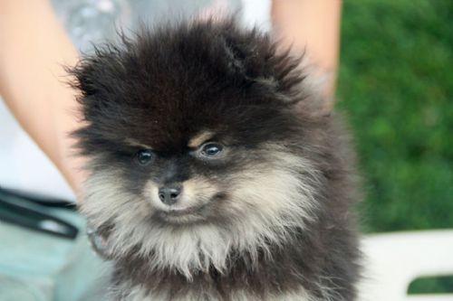 Spitz tedesco cuccioli in vendita