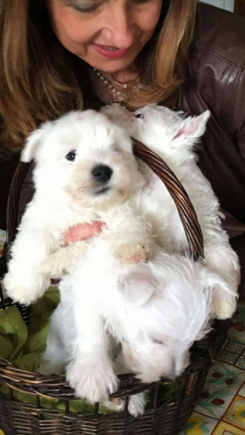 West Highland White Terrier cuccioli in vendita