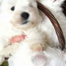 Cucciolo di West Highland White Terrier