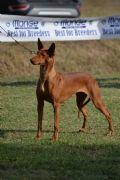 Cucciolo di pharaon-hound-lombardia-dell-antica-brughiera-21263
