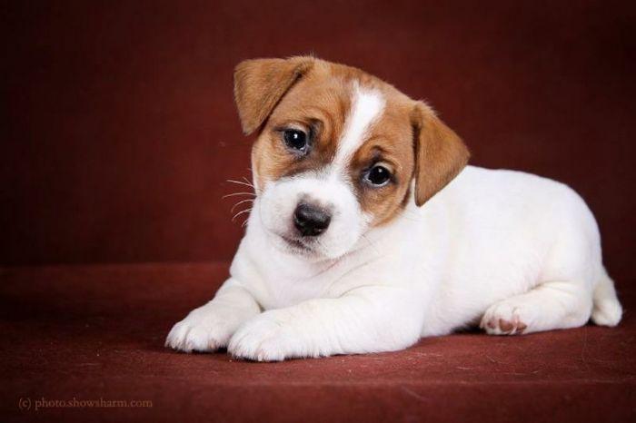 Australian cattle dog cuccioli in vendita