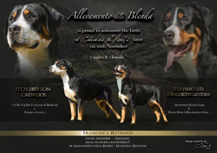 Grande bovaro svizzero cuccioli in vendita