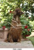 cucciolo setter-irlandese-lombardia-allevamento-della-blenda-21320