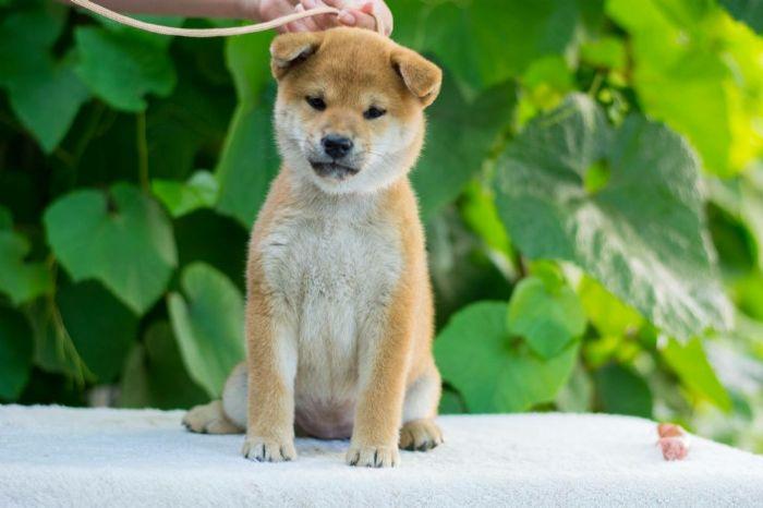 Shiba Inu cuccioli in vendita