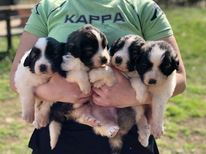 Mastino dei Pirenei cuccioli in vendita