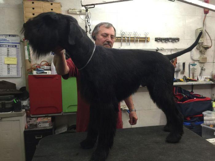 Riesenschnauzer cuccioli in vendita