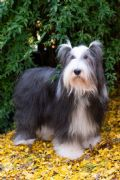 cucciolo bearded-collie-toscana-all-to-di-poggio-al-tesoro-22614