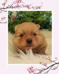 cucciolo spitz-tedesco-veneto-big-show-22726
