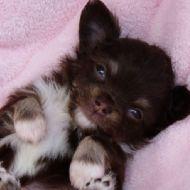 Cucciolo di Chihuahua (a pelo lungo)
