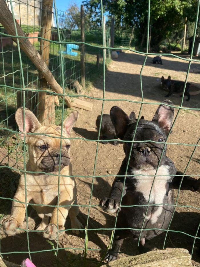 Bouledogue Francese cuccioli in vendita