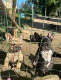 cucciolo bouledogue-francese-toscana-allevamento-casa-wellens-22742