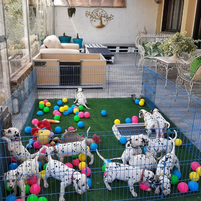 Dalmata cuccioli in vendita