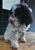 cucciolo lagotto-romagnolo-lazio-cani-da-tartufo-allevamento-22778