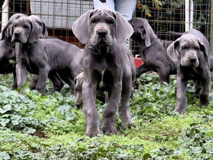 Alano cuccioli in vendita