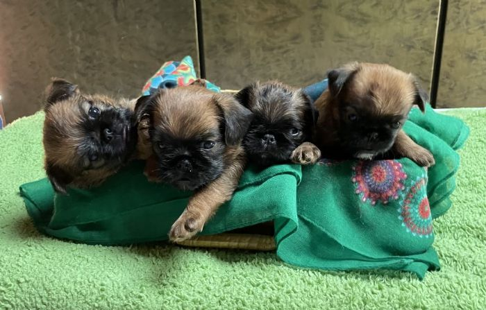 Griffone di Bruxelles e Belga cuccioli in vendita