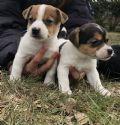 cucciolo jack-russell-terrier-piemonte-la-pradellina-22824