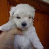 Cucciolo di Barbone (toy)