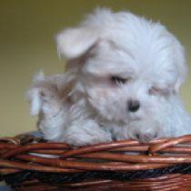 Cucciolo di Maltese