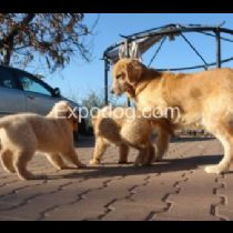 Cucciolo di Golden Retriever
