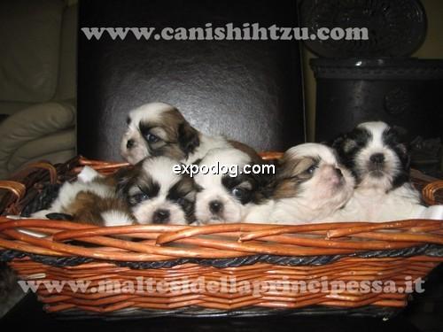 Shih Tzu cuccioli in vendita